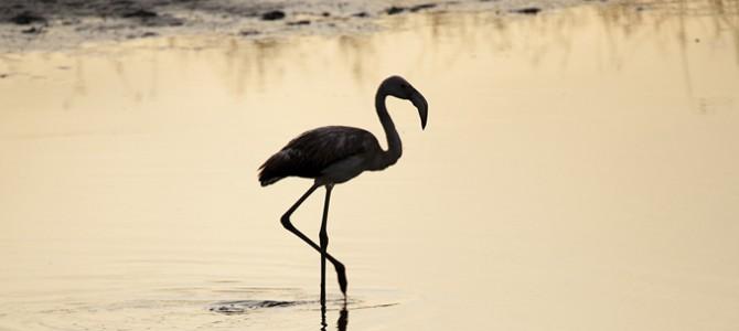 Sardinia is rich in humid zones: habitat of avifauna