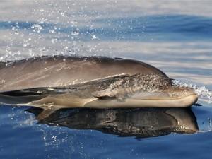 Delfini a La Maddalena e Caprera
